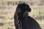 Diabolo The Black Leopard Becomes Spirit
