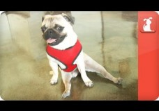 Pepe the Paralyzed Pug – Tails of Hope