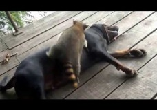 Coon Dog and Raccoon Ringo Playing