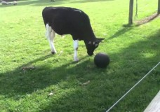 The Video that Will Make You Want to Hug a Cow